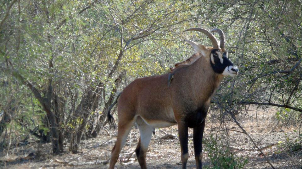 Antilope Cheval. Crédits photo: Yacoub
