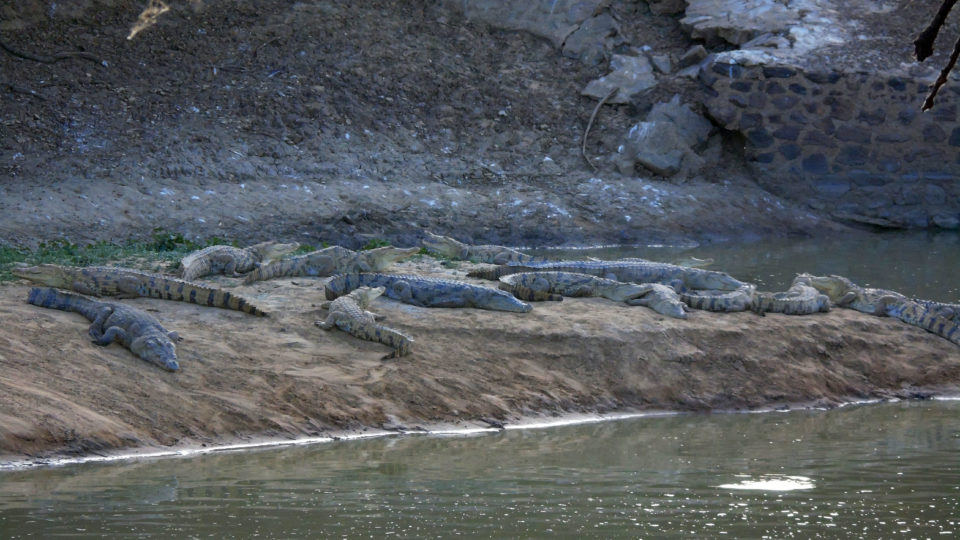 Des crocodiles sorties des eaux du Bahr Salamat. Crédits photo: Yacoub
