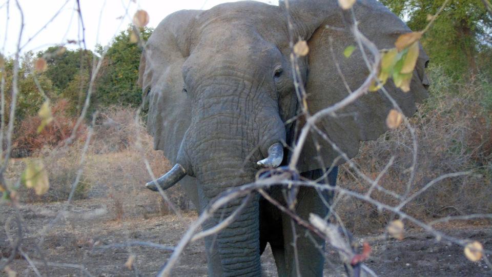 Vue de près d'un éléphant. Crédits photo: Yacoub