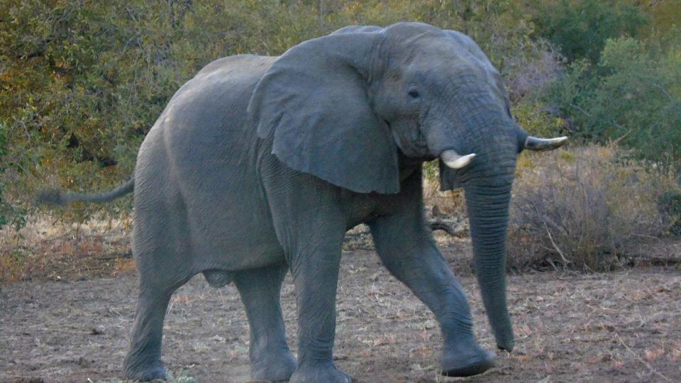 Un éléphant. Crédits photo: Yacoub