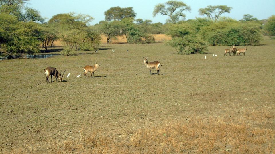 Des antilopes autour du Bahr Salamat. Crédits photo: Yacoub