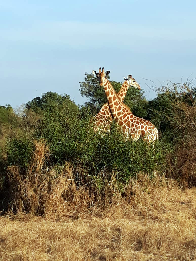 Une vue de deux girafes de kordofan. Crédits photo: Ahmat