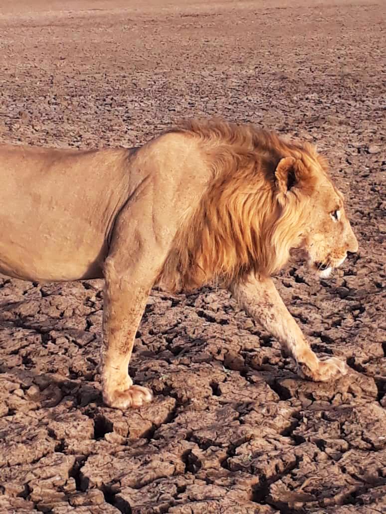 Vue de près d'un lion.  Crédits photo: Ahmat